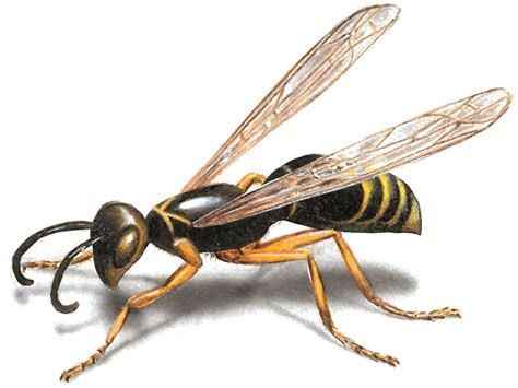 Wasp Control: How to Get Rid of Wasps