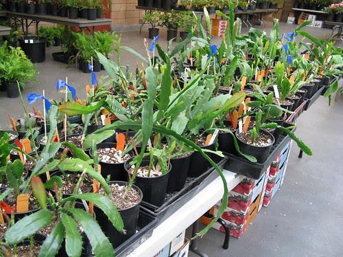 epiphyllums
