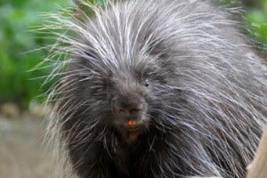 north-american-porcupine