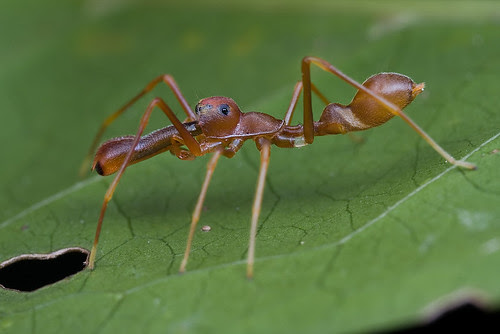 My 1st red ant-mimic spider...IMG_1291 copy
