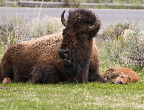 One Tuckered Bison Calf