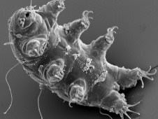 The Tardigrade: Earth's super-tiny superheroes. (Image Credit: ESA/Dr. Ralph O. Schill)