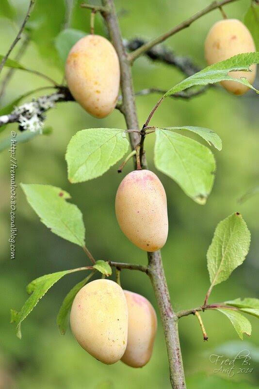Prunus domestica intermedia- Blanche de Letricourt
