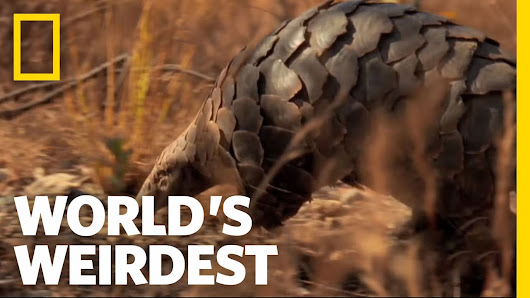Chinese Pangolin Critically Endangered - Wild Animals In Wild Lands