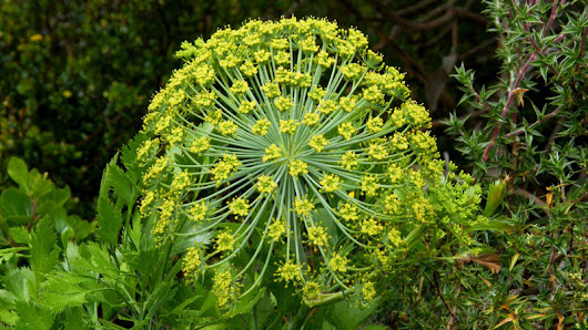 aromatherapy-blog - Essential oil of the month - Galbanum