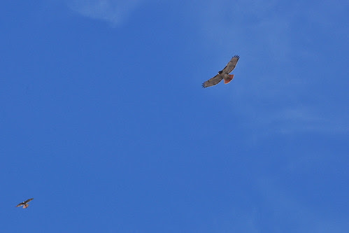 Red-Tail and Kestrel over 116th St.