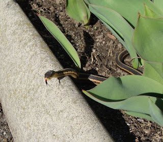Garter snake basking among the tulips