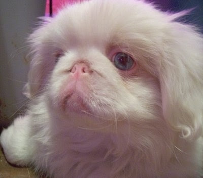Pekingese Funny Dog