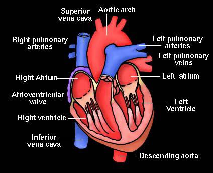 heart diagram blood flow | Sylvie Guillems