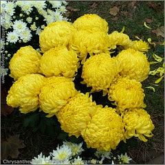 Chrysanthemum 'Clotidou' - Chryzantema