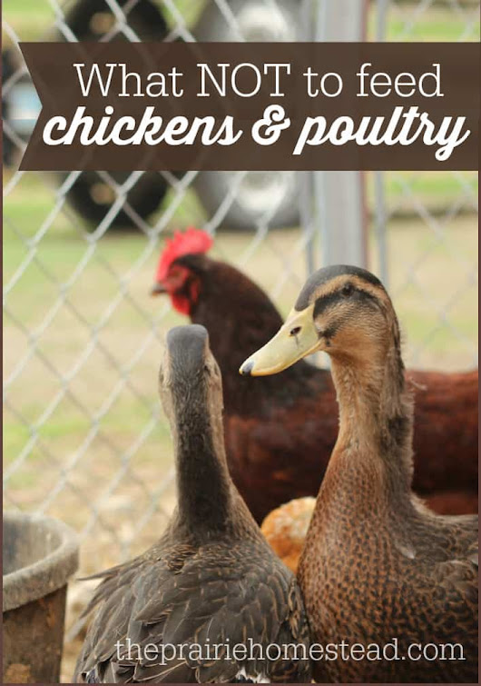 What NOT to Feed Chickens | The Prairie Homestead