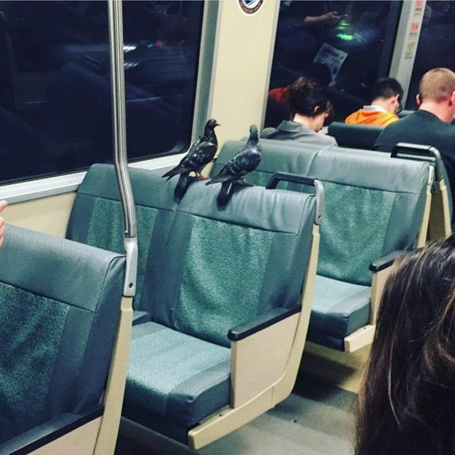 http://www.citylab.com/commute/2016/10/pigeons-take-a-ride-on-the-bart-train/503096/?utm_source=feed