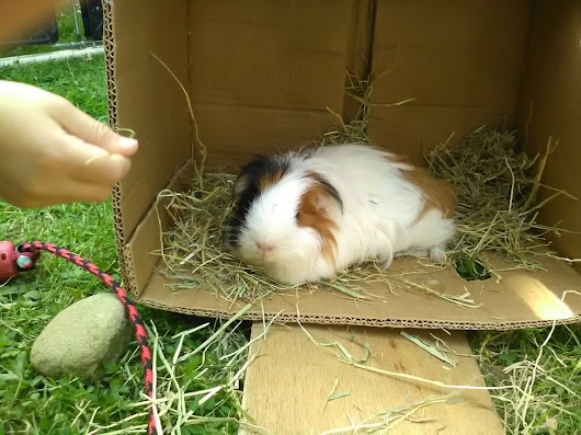 Playing With The Guinea Pigs | site