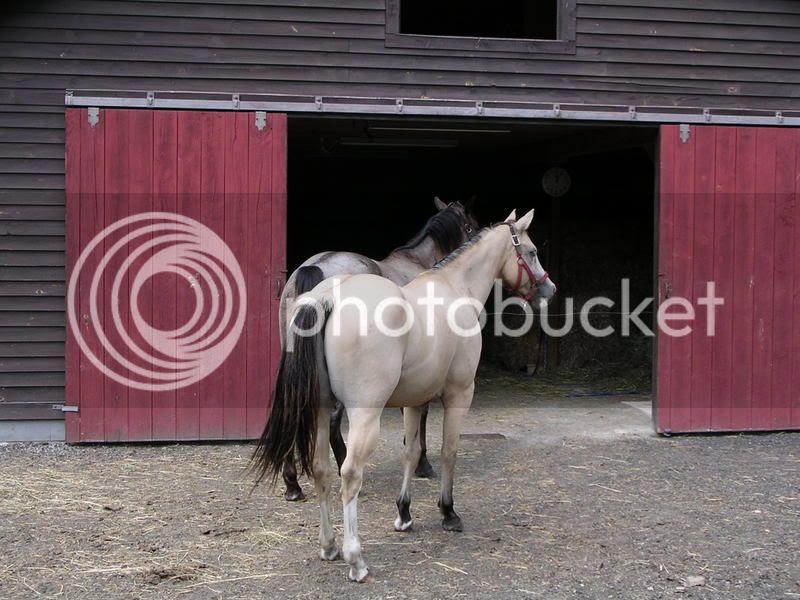 Buckskin? Dun? or Dunskin? - The Horse Forum