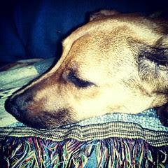 #puppy #adoptdontshop #foster #rescue #dogsofinstagram #dogstagram #instadog #petstagram