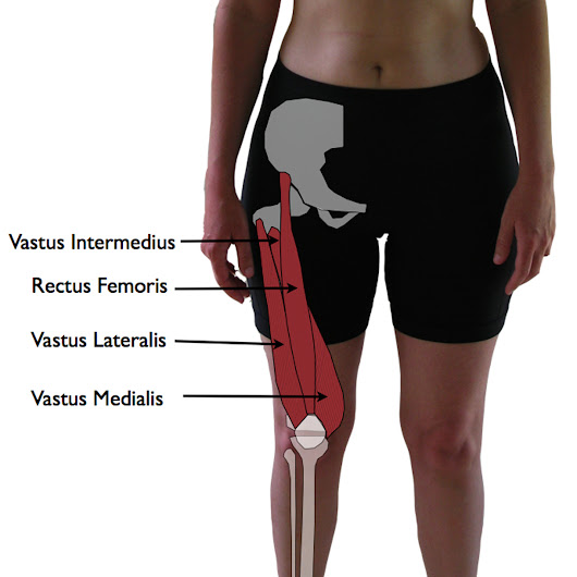 Quadriceps Muscle : Action Star Muscle  Of Our Body