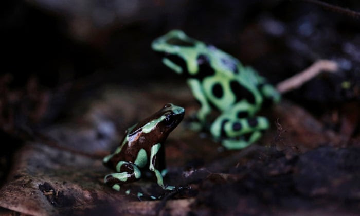 """Green and black poison dart frogs (Dendrobates auratus), which are part of the new """"Land of Frogs"""" permanent exhibition at the Gamboa Rainforest Hotel on the outskirts of Panama City, January 7, 2015."""