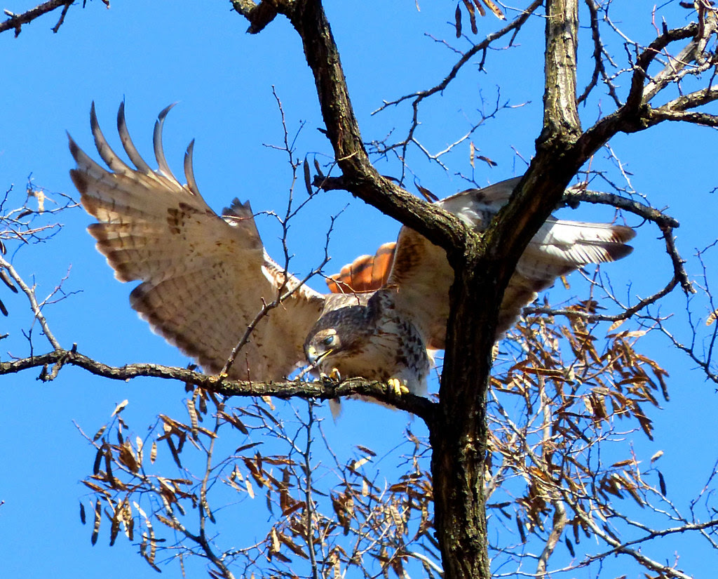Male red tail collecting twigs in Tompkins Square