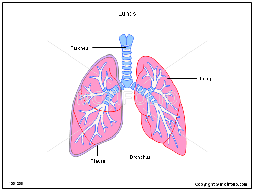Lungs 1031236