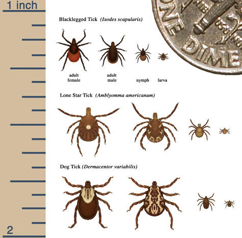 Tick boom continues in Michigan; here's what you need to know about Lyme disease