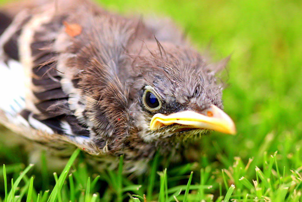 Baby Bird2