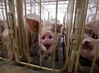 Gestation crates have come under fire by animal rights groups because they are barely bigger than the pigs themselves.