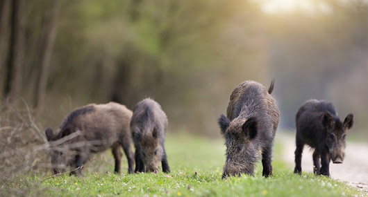 Feral Hogs in Wisconsin