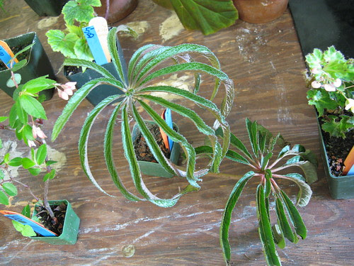 Begonia luxurians