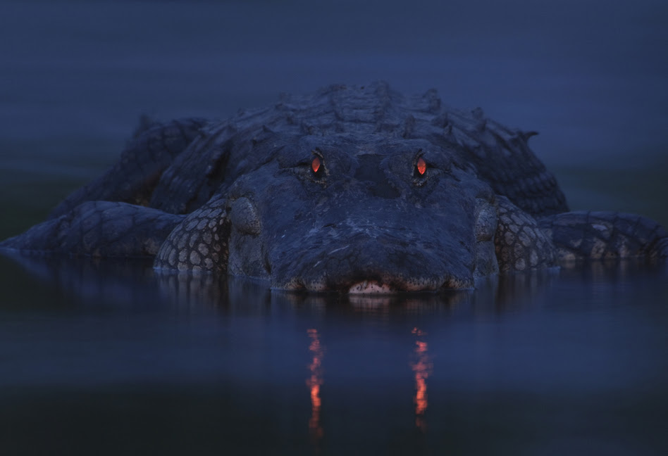 Winner, Animal Portraits — An alligator is seen at Myakka River State Park in Sarasota, Fla. Like cats, alligators have a tapetum lucidum at the back of each eye — a structure that reflects light back into the photoreceptor cells to make the most of low light. When light shines into alligators' eyes, the pupils appear to glow red.