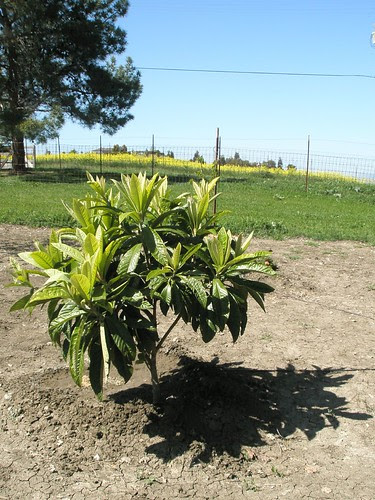 the little loquat tree