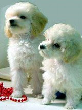 Poodles: Choice of Arsenal