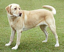 http://upload.wikimedia.org/wikipedia/commons/thumb/2/26/YellowLabradorLooking_new.jpg/260px-YellowLabradorLooking_new.jpg