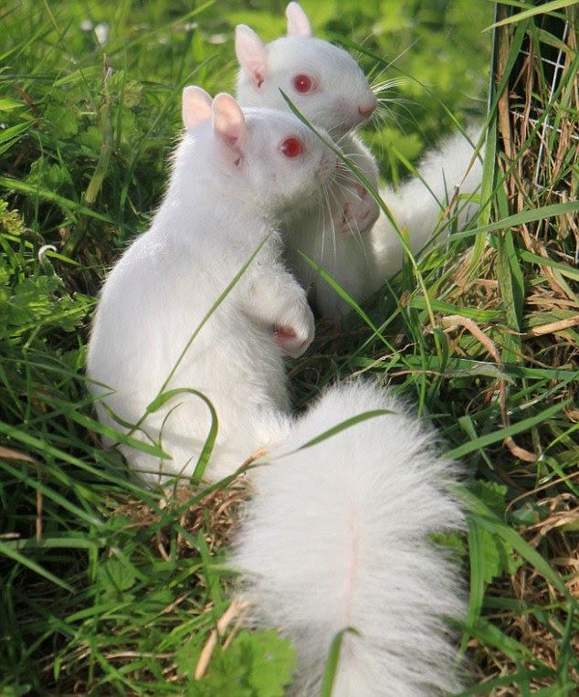 Kelakuan Lucu Tupai Albino Saat Melihat Bayangannya
