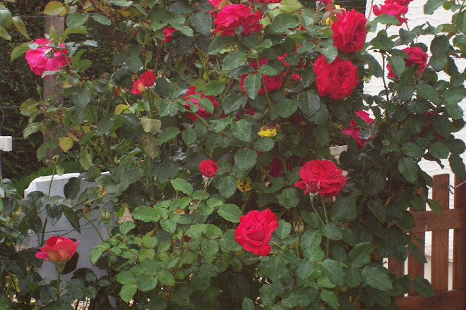 roses du jardin (2007)