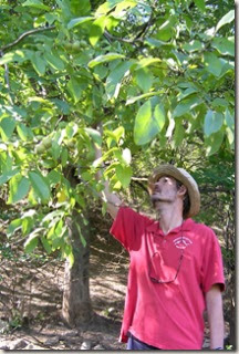 Picking_Walnuts
