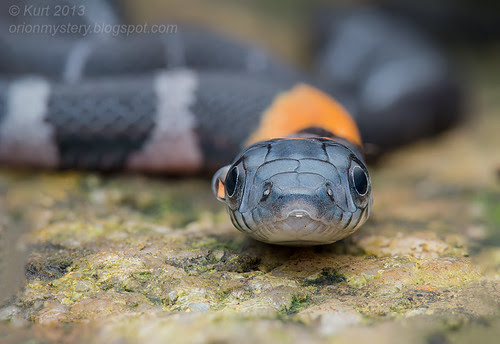 Orange-necked Keelback IMG_383 stk copy