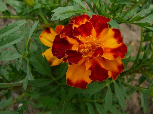 Studentenblumen 2008 (07)