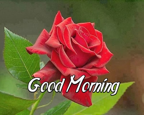 Good Morning Images With Red Rose Hd Good Morning Images With Red