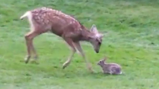 Caught on Video: Real-Life Bambi and Thumper Play in the Mountains