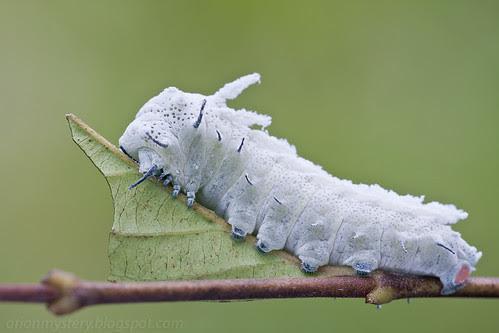 Snow white caterpillar. Attacus sp. IMG_7459 copy