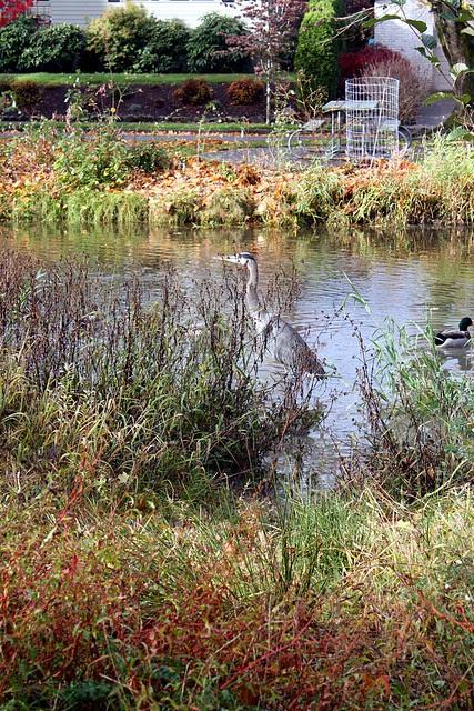 Heron, Westmoreland Park