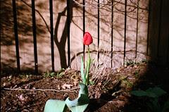 Tulip XI