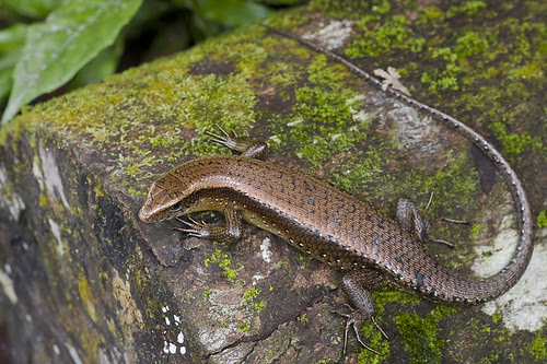 Common Sun Skink, Eutropis multifasciatus IMG_9196 copy