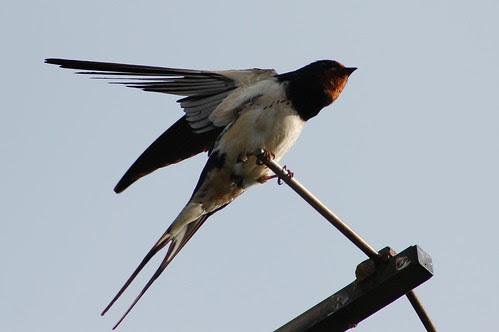 swallow 2008