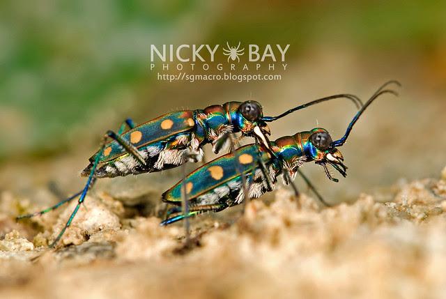 Tiger Beetle (Cicindelinae) - DSC_7064