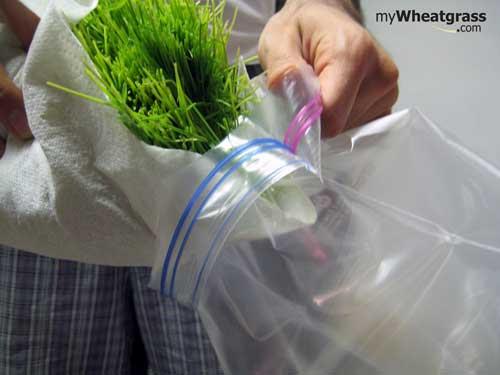 Wheatgrass Storage