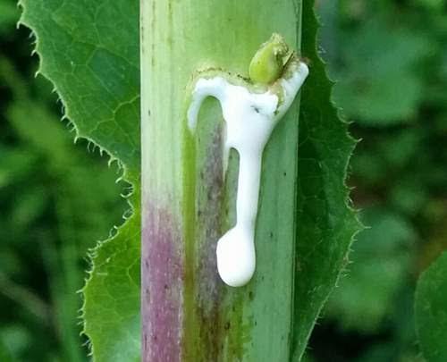 lettuce-opium-sticky-extract-of-wild-lettuce