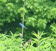 Male indigo bunting and youngin