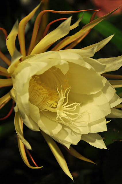 Epiphyllum oxypetalum 08-23-10 2146