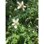 Anemone cylindrica DP50 Plugs   Conservation Quality Plants by ArcheWild